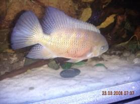 Cincelichthys bocourti 39
