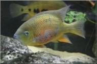 Cincelichthys bocourti 6