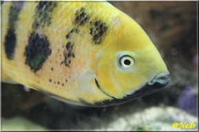 Cincelichthys bocourti 8