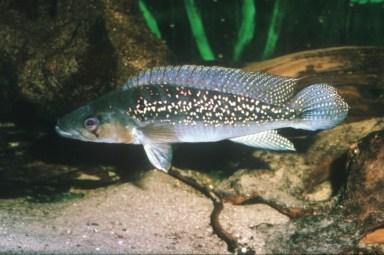 Crenicichla-albopunctata-Venezuela-725x483 (1)