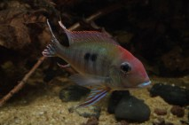 Geophagus sp Read Head Tapajos 4