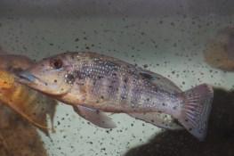 Retroculus cf. Lapidifer Tocantins Brasil Rio Tocantins sauvage 4