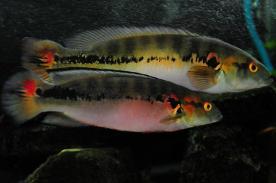 Crenicichla tigrina (10)