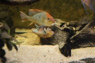 Geophagus sp. Read Head Tapajos F1 15