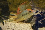 Geophagus sp. Read Head Tapajos F1 2