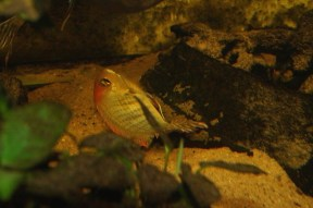Geophagus sp. Read Head Tapajos F123