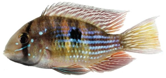 Gymnogeophagus rhabdotus issu du cours d'eau côtiers du sud du Brésil et du fleuve Uruguay