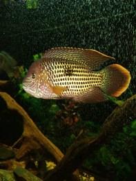 Andinoacara rivulatus (15)