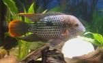 Andinoacara rivulatus (34)