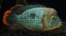 Andinoacara rivulatus (41)