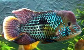 Andinoacara rivulatus (56)