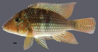 Geophagus-santosi-1