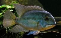 Hoplarchus psittacus