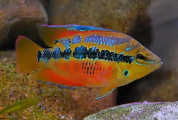 Central American Cichlids Guide Cichlid Guide
