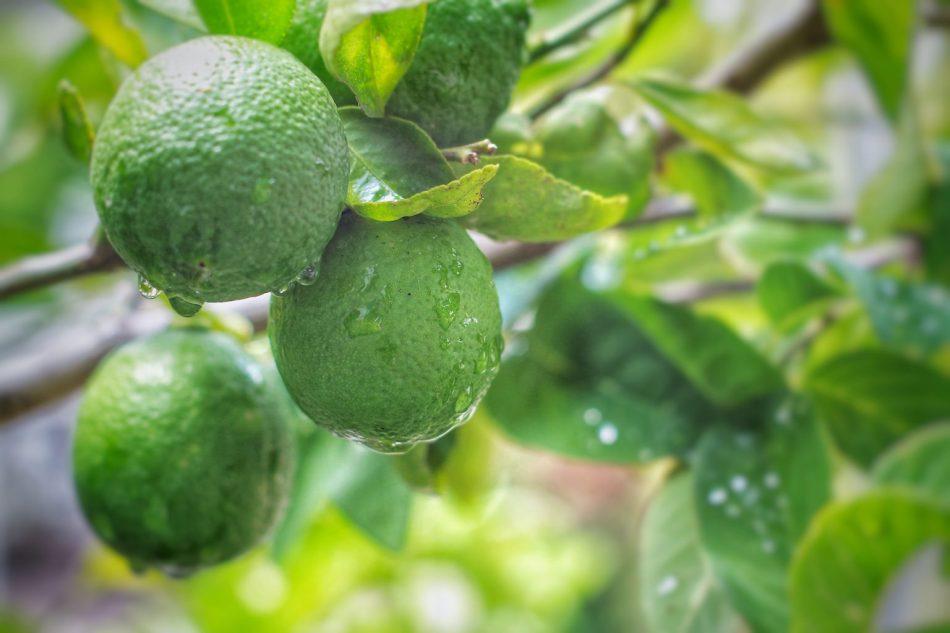 Árbol-de-Limón