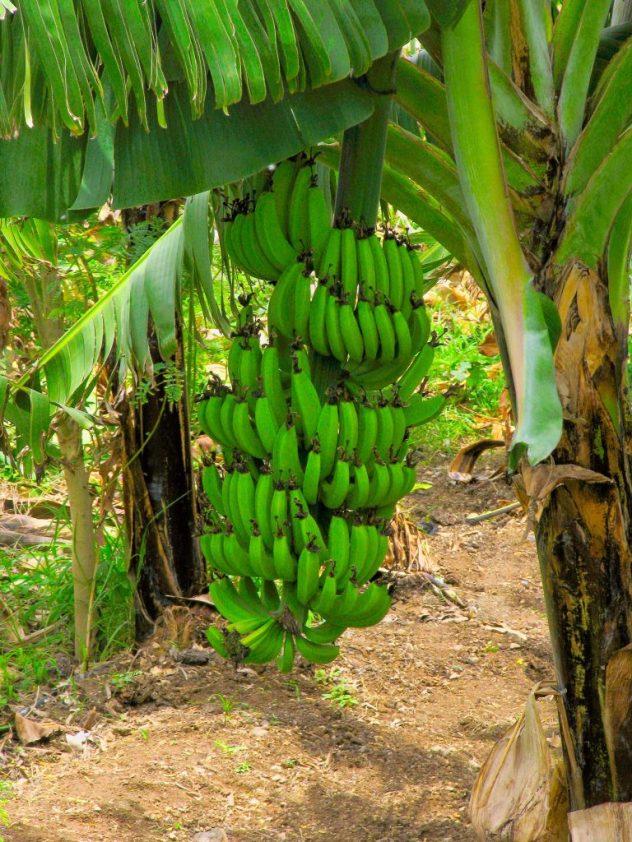 plátano-árbol