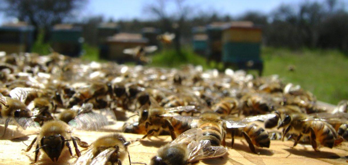 Piauí é o maior produtor de mel do Nordeste e o terceiro maior do país, diz IBGE