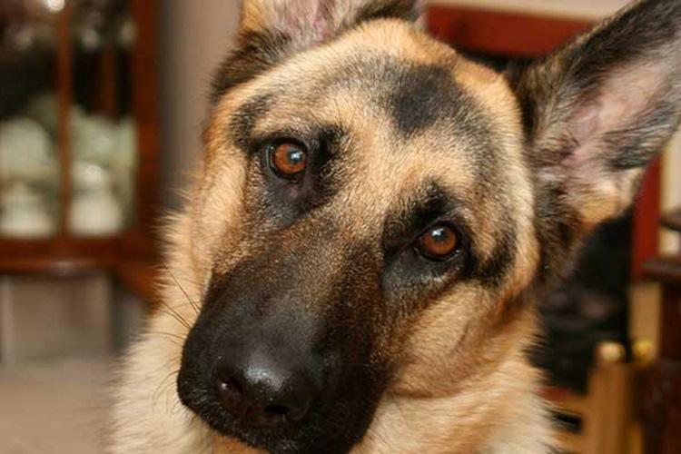 Saint Cute Puppy Hd Wallpaper As Doen 231 As Mais Comuns Em Cada Ra 231 A De Cachorro