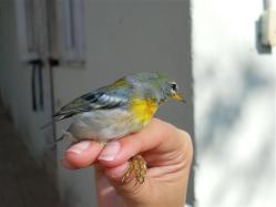 ciencia de cuba_ciencia cubana_anillamiento de aves en cuba_estación ecológica siboney juticí (26)