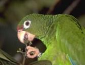ciencia de cuba_ciencia cubana_Cotorra cubana_Amazona leucocephala leucocephala