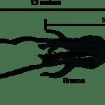 ¿Qué sabemos sobre los calamares gigantes y los calamares colosales?