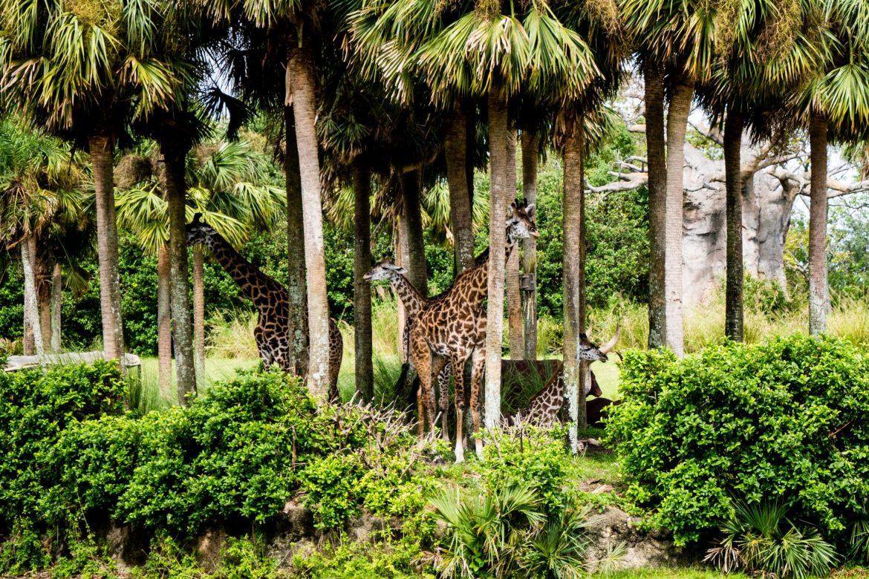 "Żyrafy w czasie ""safari"""