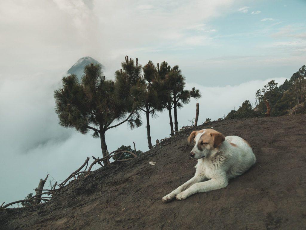 Pieskie życie - jeden z naszych psich towarzyszy o poranku, z widokiem na wulkan Fuego