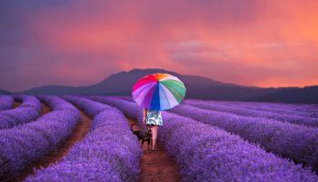 Цвіт лавандових полів: магія в 13-и фото