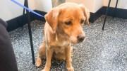 Сама знайшла собі господаря: чоловік вранці в будинку виявив бездомну собаку, хоча всі двері і вікна були закриті