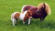 Найменші породи коней