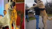Собаки, які своїм розміром більші за господарів!