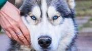 Неймовірно красивий собака сам напросився в притулок