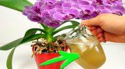 Картопляна шкірка — це все, що потрібно для орхідей. Рецепт кращого добрива для пишного цвітіння