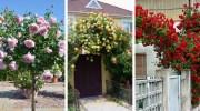 Декоративний сад з троянд навколо будинку: 25 ідей для натхнення