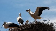 Цікаві факти про лелек — красивих і граціозних птахів