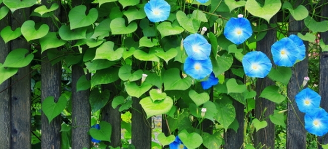 Vines Flower Drawing Morning Glory