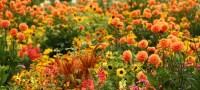 Autumn Flowers: 8 Cool Weather Stunners   DoItYourself.com