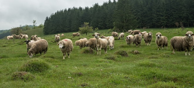 A herd of sheep on a green field.