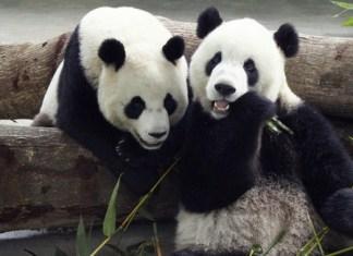 panda reintrodotti