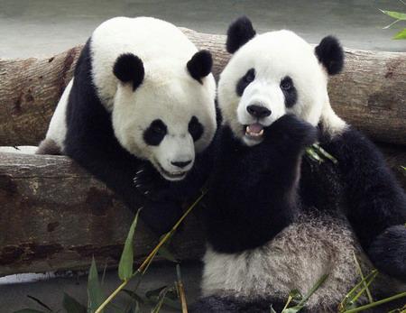 Immagini di panda