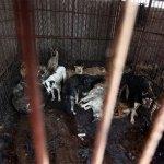 Chiuso un macello per cani clandestino: le immagini scioccanti