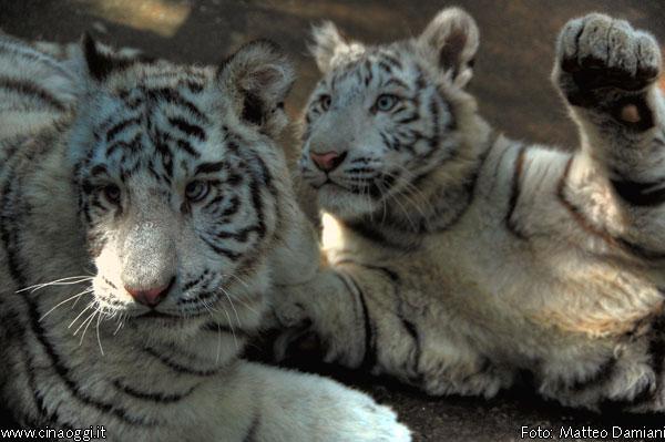 tigre-bianca