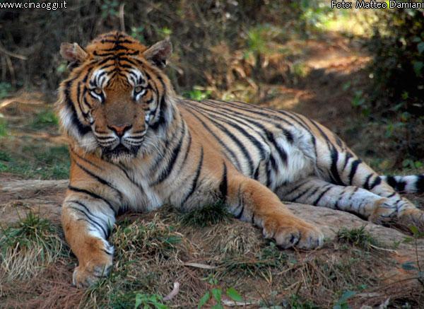 tigre-animali medicina tradizionale cinese