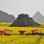 La primavera dorata di Luoping