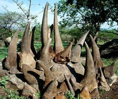 corni di rinoceronte-abusi sugli animali medicina cinese