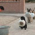 cani della polizia cinese