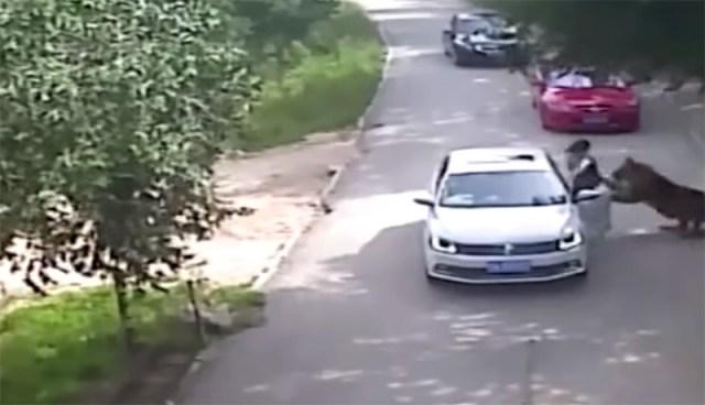 tigre-assalto