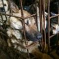 cani-in-attesa-di-essere-macellati-a-yulin