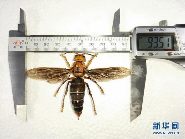 vespa gigante