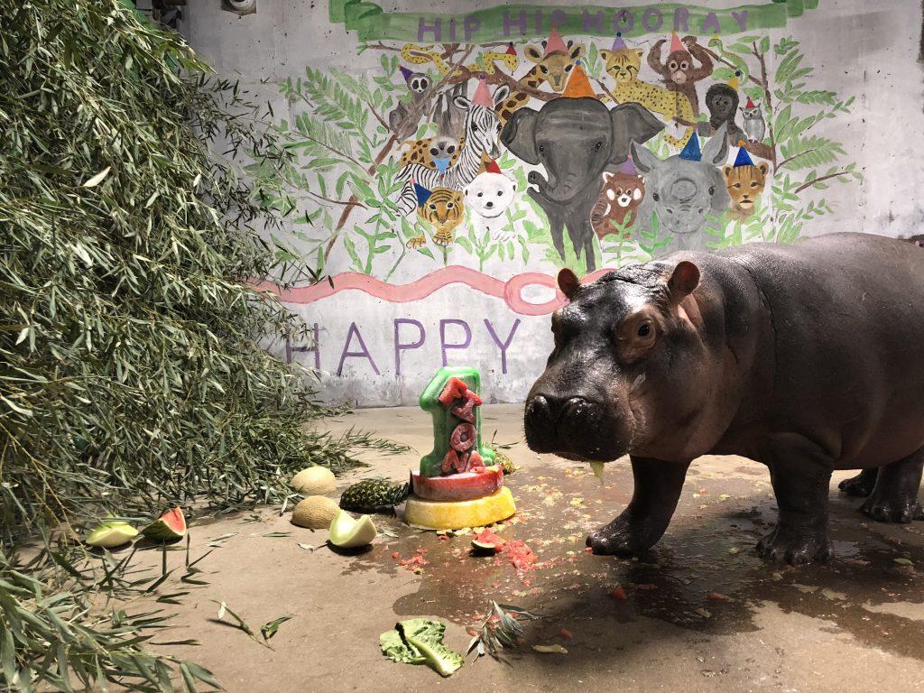 Happy First Birthday To Fiona! Cincinnati Zoo